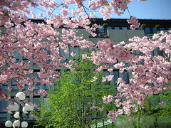 japanese cherry trees in stockholm, sweden