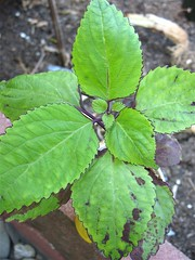 Coleus 'Dark Star (Hybrid)' (3 Leaves/Node)