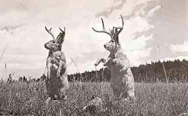 jackalopes