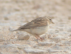 Short-toed Lark, Ponta da Erva (Portugal), 20-Apr-06