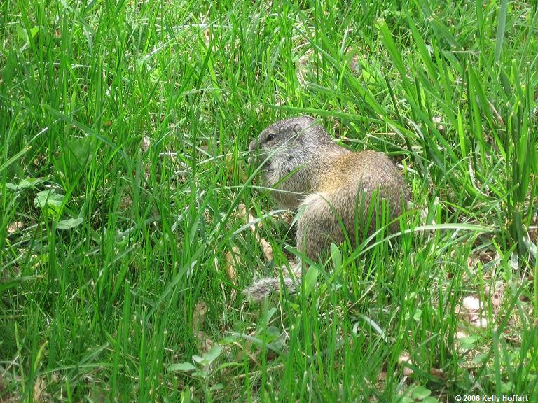 IMG_2960 - Ground Squirrel