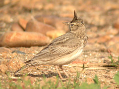 Crested Lark, Elvas (Portugal), 24-Apr-06