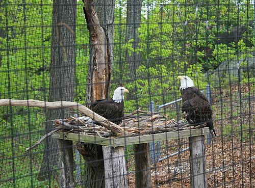 Poor bald headed eagles