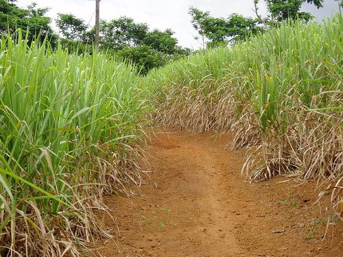 Sugar Cane Everywhere