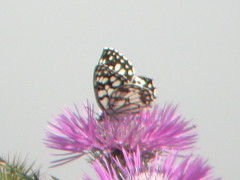 Spanish Marbled White, Mértola - Castro Verde (Portugal), 25-Apr-06