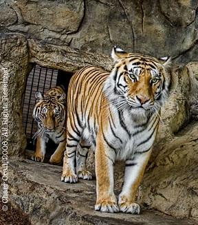 tigers8721