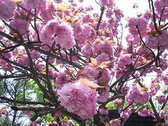 Sakura en el Templo Kiyomizudera