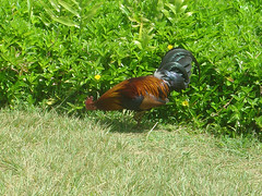 kauai wild chicken