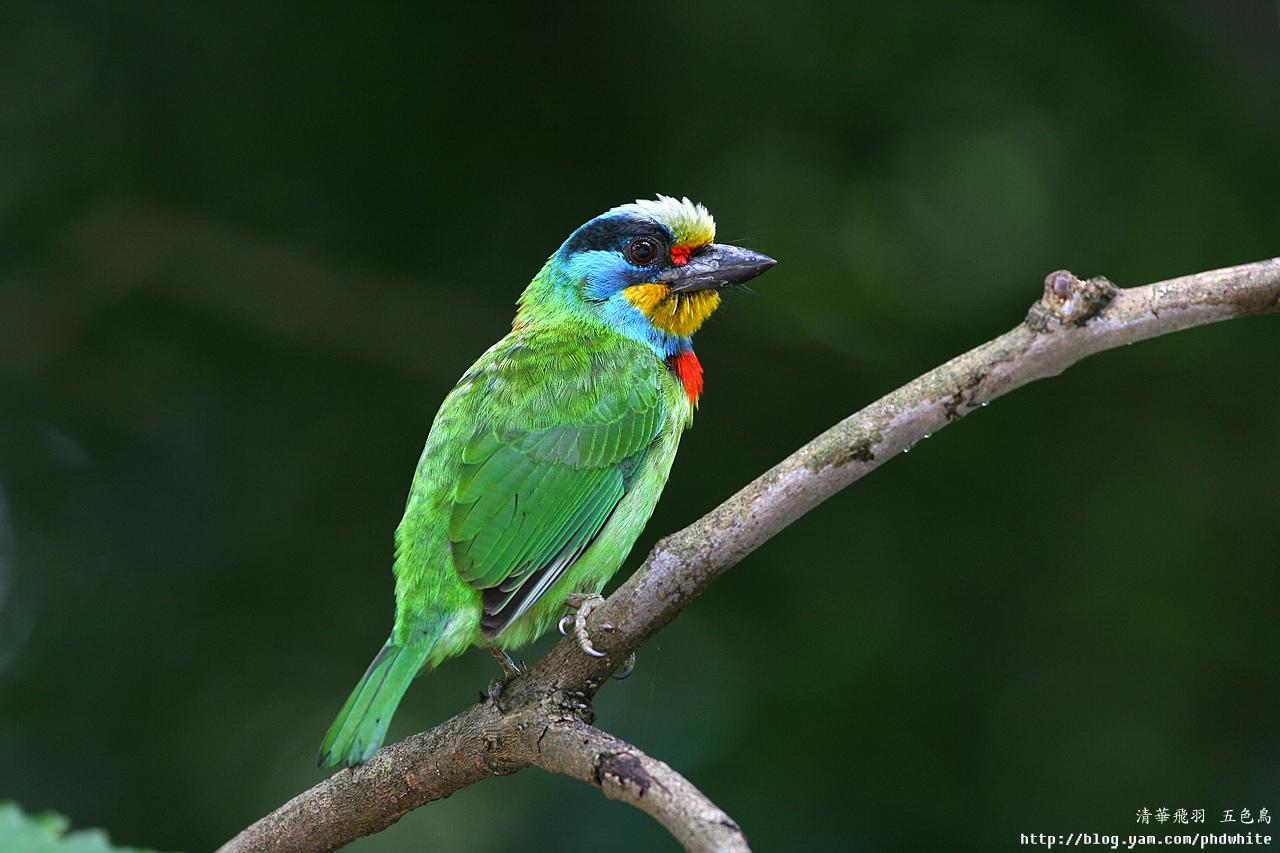bird guide of thailand pdf