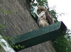 Grange Park Hawk