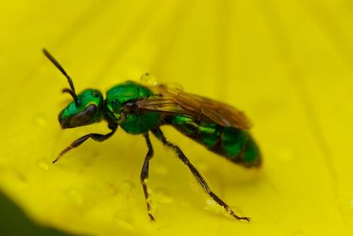 Brilliant Green Fly