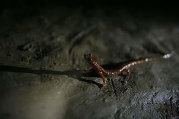 Salamander in Mushroom Cave