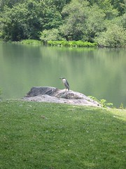 Heron(?)