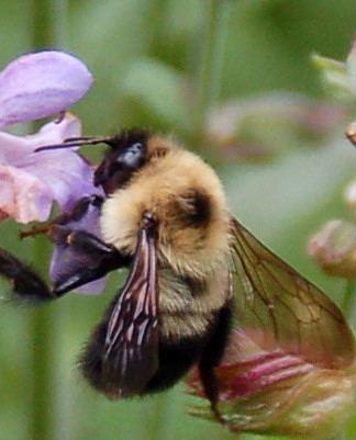 6.24.06 sage bee 2