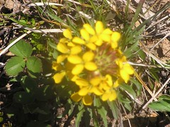 Lovely yellow flower growing in a clump with grass-like leaves
