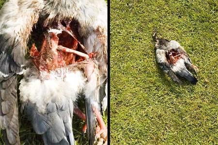 dead_pigeon