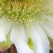 Cereus (3217A)
