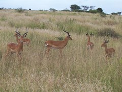 Gazelle in Nairobi National Park