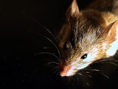 New study shows mice capable of empathy