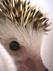7/5/06: Hedgehog closeup 1