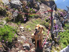 Clover on summit of Yellow Aster Butte - summit #2 for the wekend!
