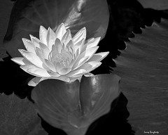 Water Lily in Black and White photo by Larry Daugherty