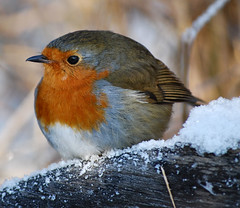 Robin in the snow photo by Jennie Anderson