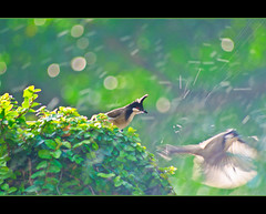 bulbul fun photo by MohdShareef
