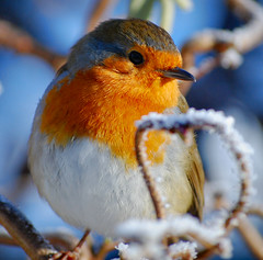 Christmas Robin photo by Jennie Anderson