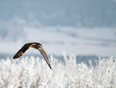 Short eared owl flying in the snow (Explored #23- front page) photo by Oliver C Wright