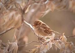 Female House Sparrow photo by blair4bears