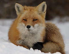 Red Fox photo by Mark Schwall