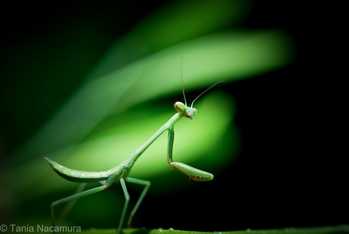 Louva Deus (Praying Mantis) photo by tania nacamura