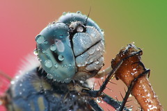 Water droplets on a dragonfly's compound eyes. photo by AgniMax