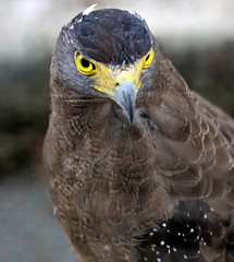 Eye,s from a predator , Crested Serpent Eagle (Spilornis cheela) photo by Thai pix Wildlife photography,,
