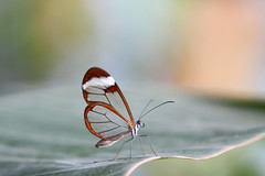 transparent butterfly photo by bugman11