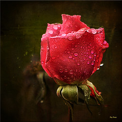 Textured Rose ( Explored) photo by Reg Ramai