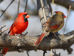 Northern Cardinal pair our state Bird in North Carolina photo by fazer53