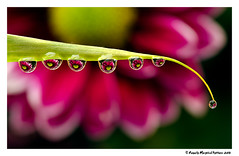 7 wee drops photo by Royally Morphed Pythons