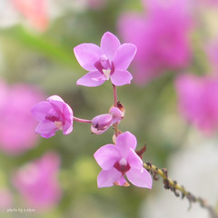 Orchids photo by e.nhan