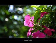 vinca rosea flower #2 photo by e.nhan
