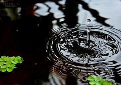 The green leaf and The water drop  ~  একটি সবুজ পাতা ও একটি পানির ফোঁটা... photo by Z A Y A N