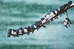 Seemingly Surreal Swallows in a Spring Snowstorm photo by kdee64