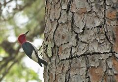 Red-headed Woodpecker photo by J Labrador
