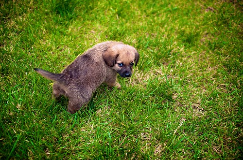 Puppy in Grass
