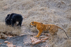 Bear Tiger fight photo by dickysingh