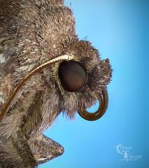 Common Quaker / Orthosia cerasi photo by Craig.Taylor