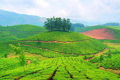 Munnar -Tea Garden photo by matey_88 ( OFF )