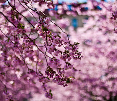 Its the annual cherry blossom moment (explored) photo by Sina Farhat