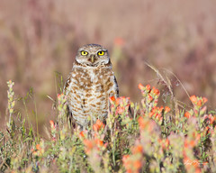 Burrowing Owl in Wildflowers photo by m_Summers